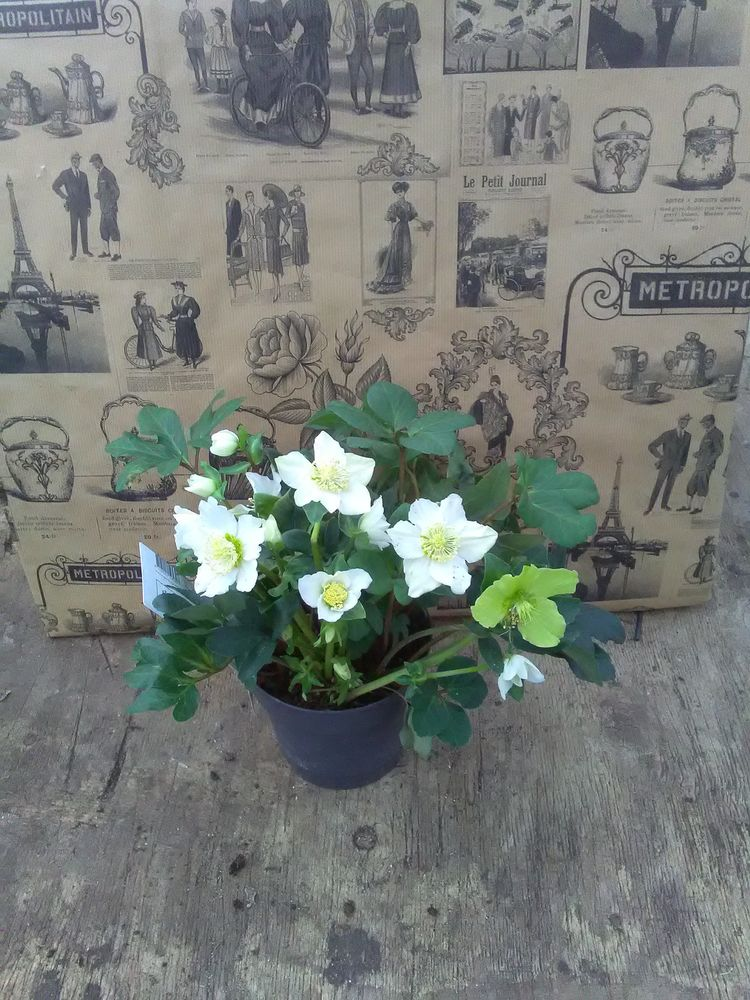Image product Hellebore blanche 301946